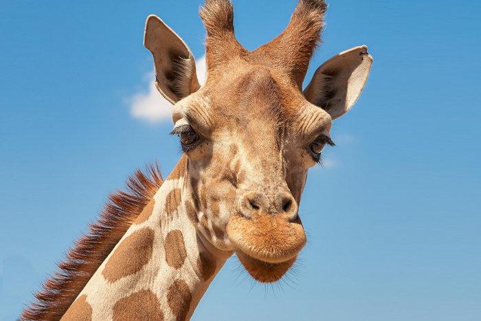 giraffe-animal-africa-dev-tool-100737245-large