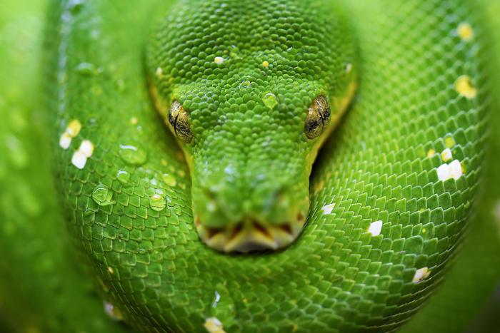green_tree_python_close-up_details_by_david_clode_cc0_via_unsplash_1200x800-100767990-large