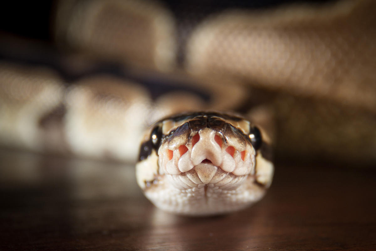 python_snake_programming-language-100728352-large